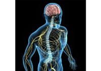 Работа автономной (вегетативной) нервной системы