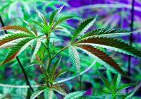 Все о марихуане. История марихуаны. Эффекты